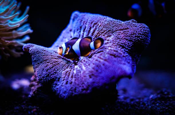 clownfisch und anemone - coral and mauve stock-fotos und bilder