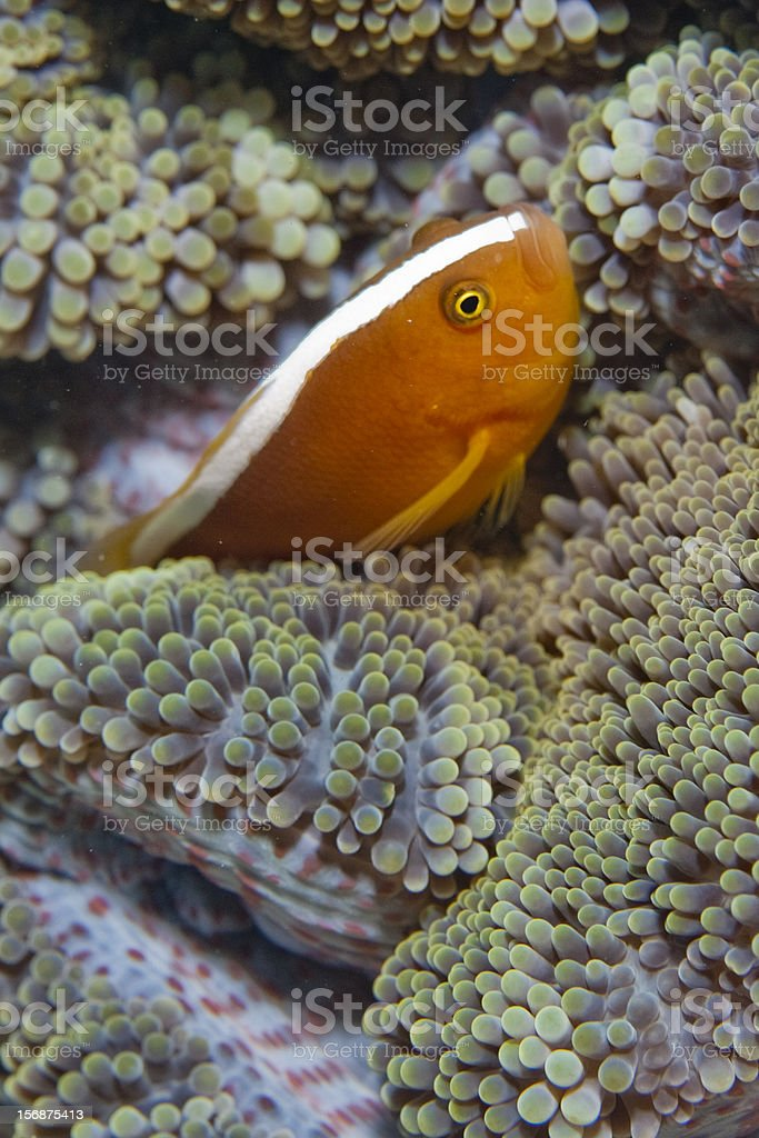 clownfish and it's anemone host royalty-free stock photo