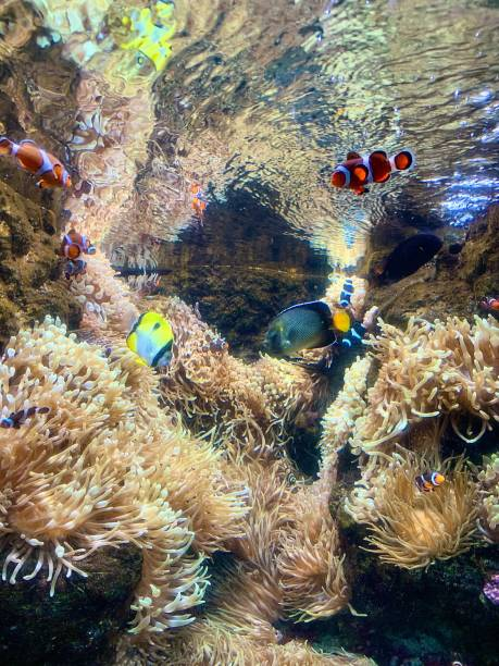 Clownfish and Paracanthurus amongst the coral. stock photo