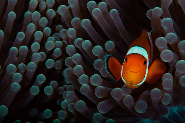 Clownfish anemonefish in tropical saltwater coral garden Amphiprion percula Clownfish anemonefish in tropical saltwater coral garden Amphiprion percula Indonesia false clown fish stock pictures, royalty-free photos & images