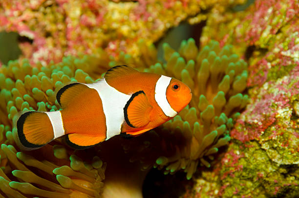 clownfish, anemonefish (Amphiprion Ocellaris) clownfish, anemonefish with anemone false clown fish stock pictures, royalty-free photos & images