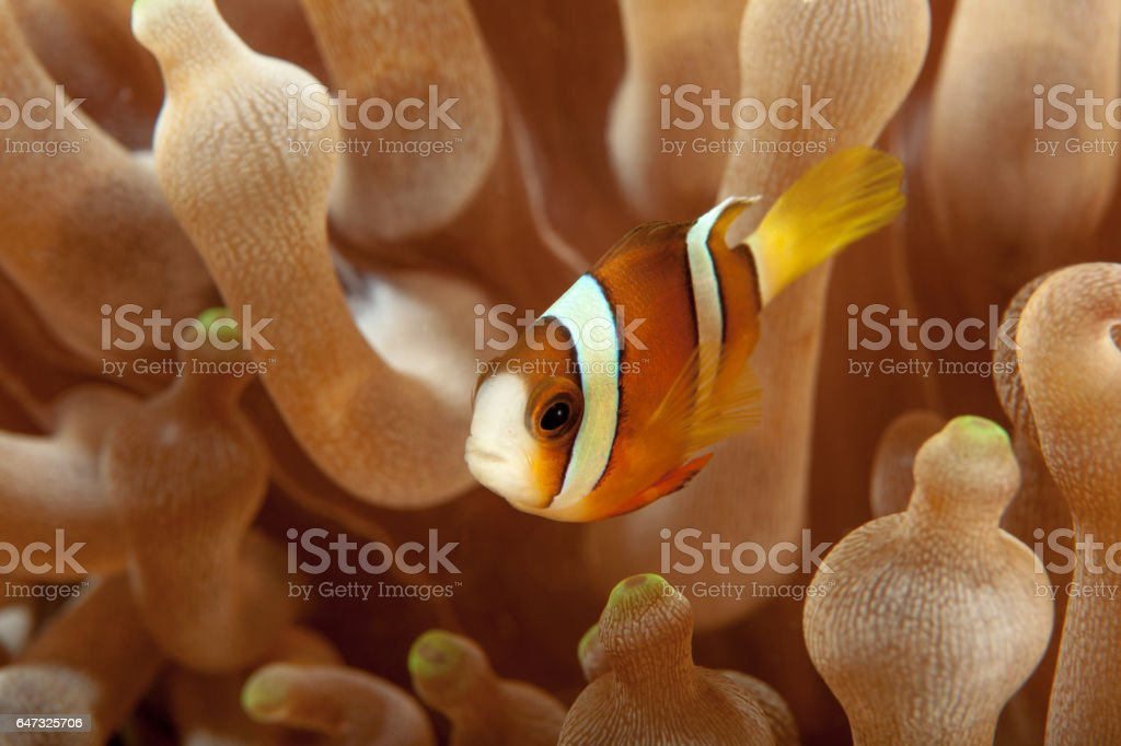 Clownfish close-up. Sipadan island. Celebes sea. Malaysia. stock photo