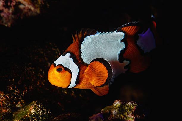 Clownfish Cruising the Reef at Night stock photo