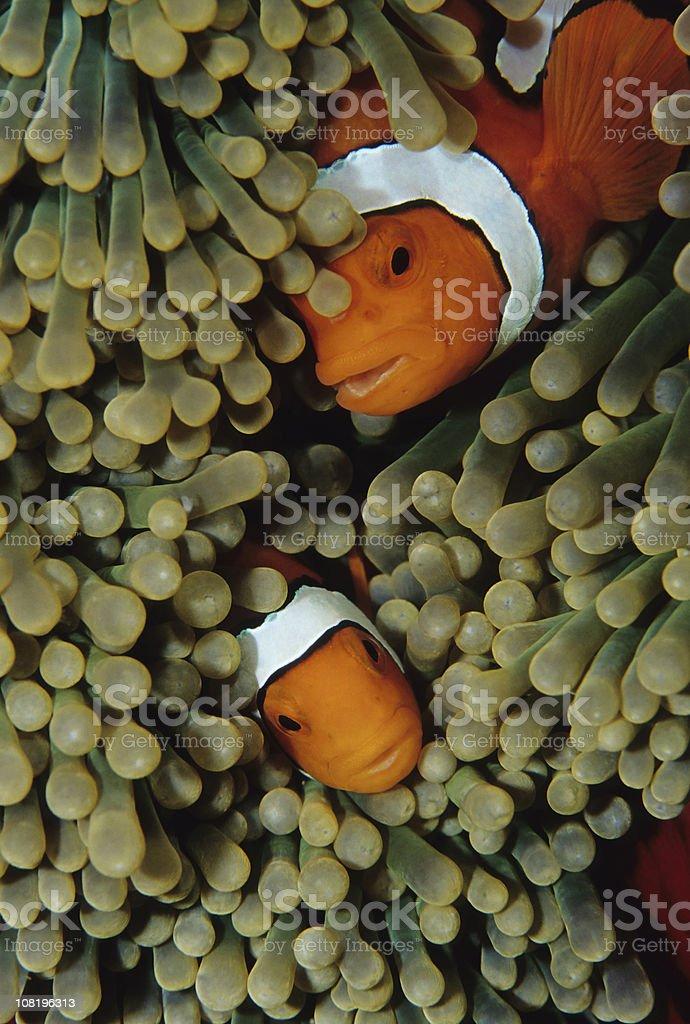 Clownfish Duo royalty-free stock photo