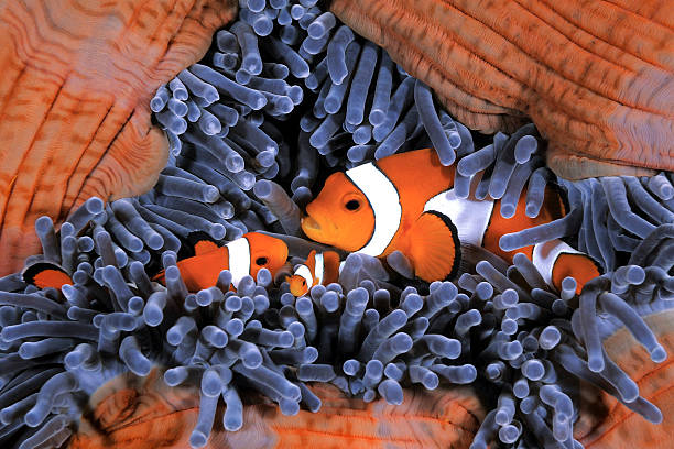 Clownfish Family Clownfish family, Amphiprion ocellaris, hiding in host sea anemone Heteractis magnifica false clown fish stock pictures, royalty-free photos & images