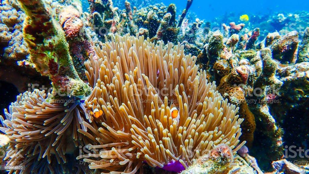 Fotografía de Peces Payaso Peces Anémona De Mar Bajo El Mar y más ...