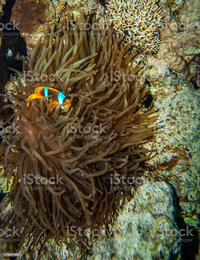 Clownfish hiding in the tentacles of its host anemone stock photo