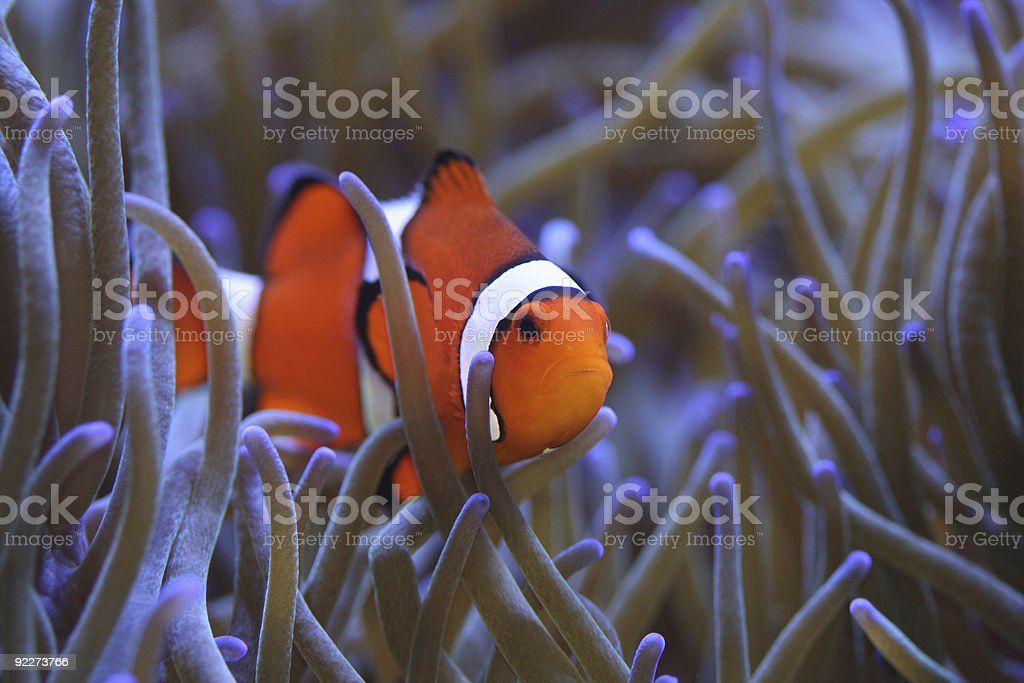 Clownfish in Anemone Amphiprion percula royalty-free stock photo