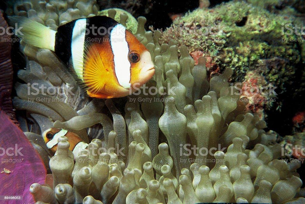 Pesce pagliaccio in anemone foto stock royalty-free
