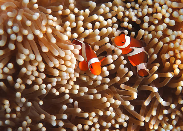 Clownfish in Coral garden - Southeast Asia tropical pristine water Snorkeling in Southeast Asia anemonefish stock pictures, royalty-free photos & images