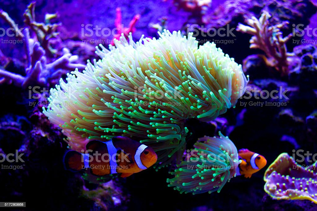 Clownfish in green coral stock photo