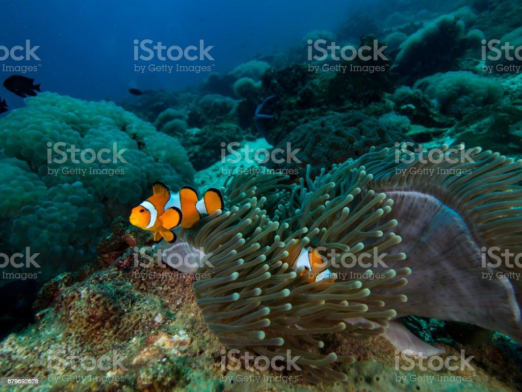 Clownfish in its anomone stock photo