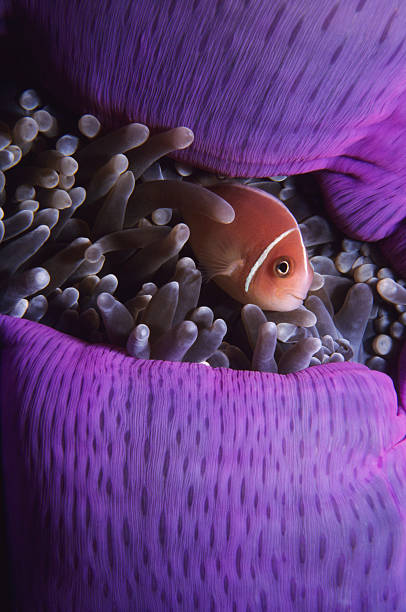 in lila anenome anemonenfisch - coral and mauve stock-fotos und bilder