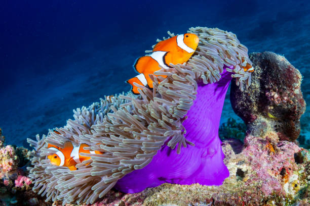 Clownfish in their host anemone on a tropical coral reef Clownfish in their host anemone on a tropical coral reef false clown fish stock pictures, royalty-free photos & images
