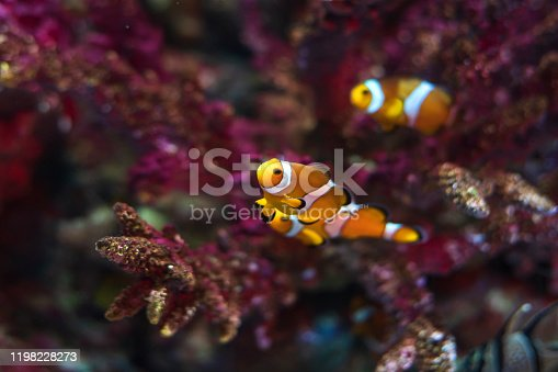 Clownfish in their host anemone on a tropical coral reef ,Thailand