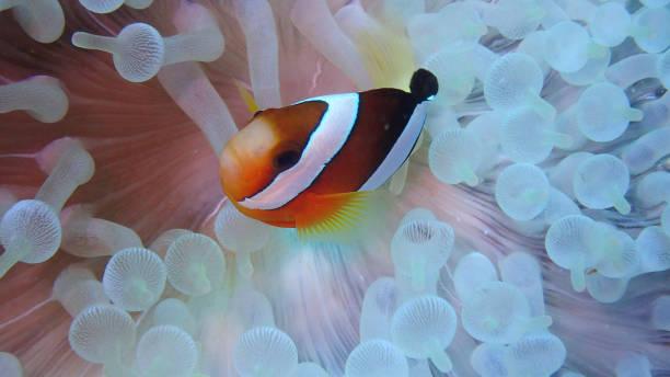 Clownfish in White Anemone stock photo
