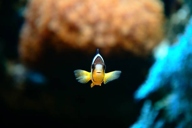 Clownfish Nemo  false clown fish stock pictures, royalty-free photos & images
