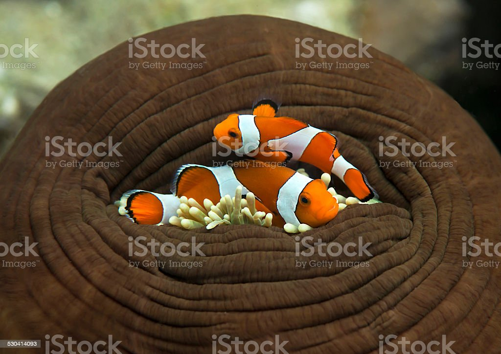 Clownfish, ocellaris clownfish waiting for opening of the anemone stock photo