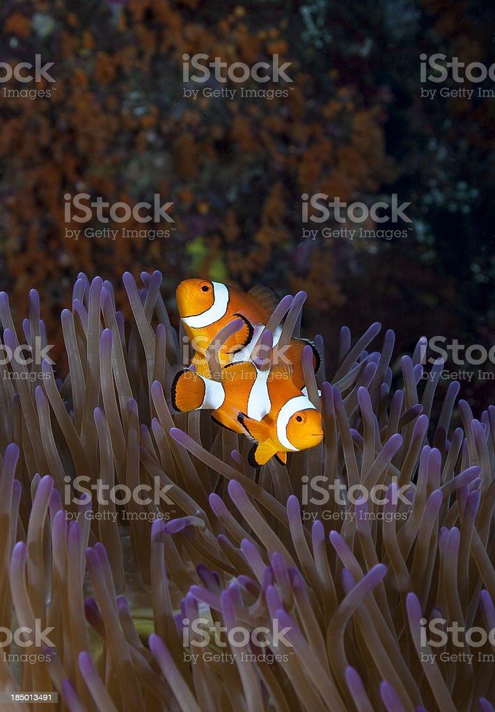 Clownfish pair stock photo