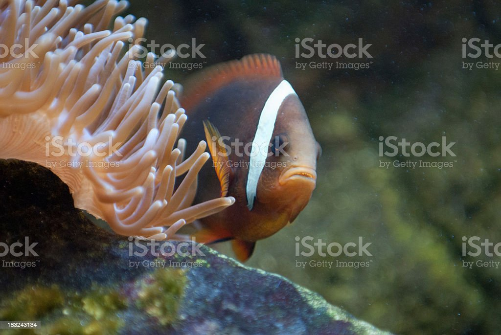 Clownfish peaking out of a Anemone royalty-free stock photo