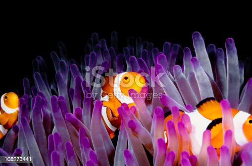 clown fish,anemone fish in a pink anemone.