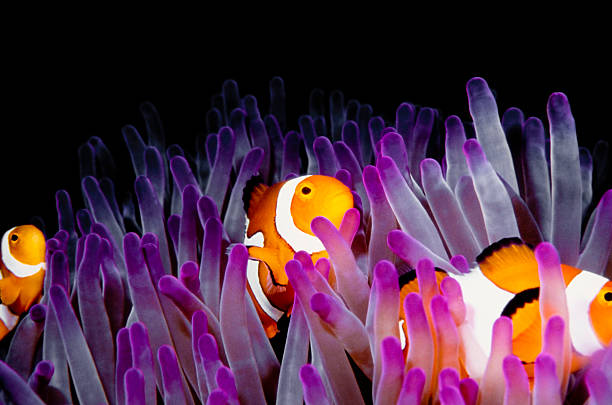 clownfish (Amphiprion Ocellaris) clown fish,anemone fish in a pink anemone. sea anemone stock pictures, royalty-free photos & images