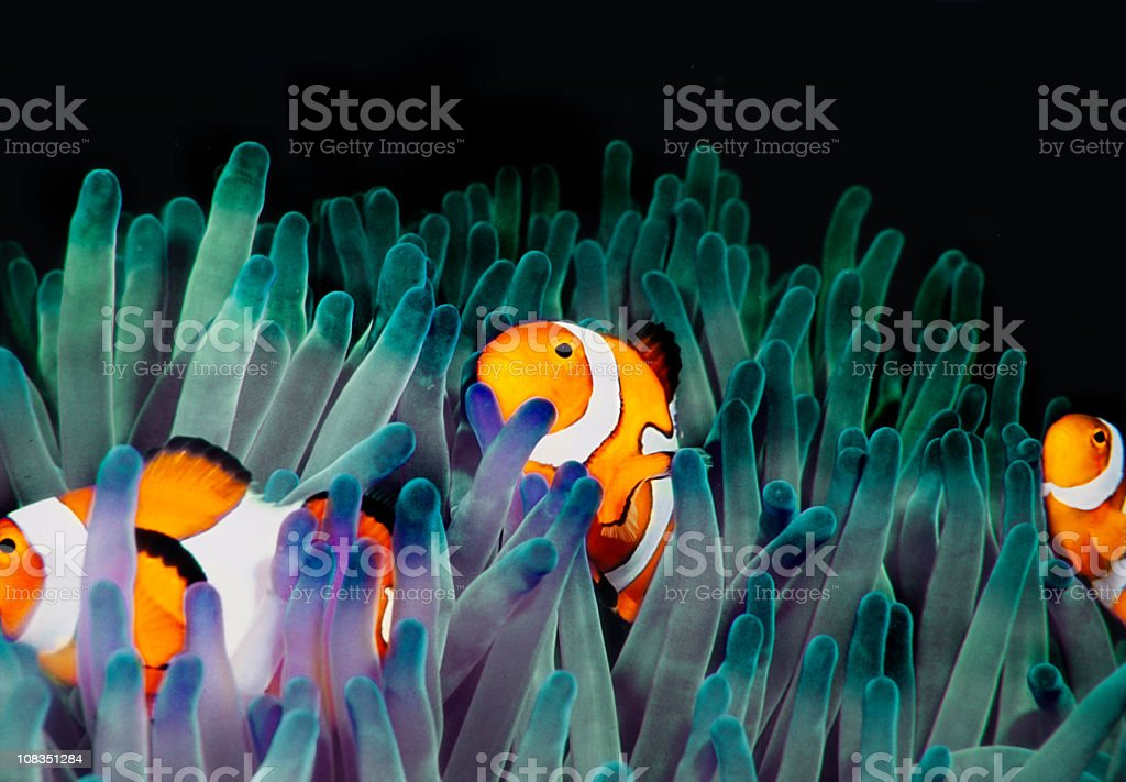 clownfish (Amphiprion Ocellaris) stock photo