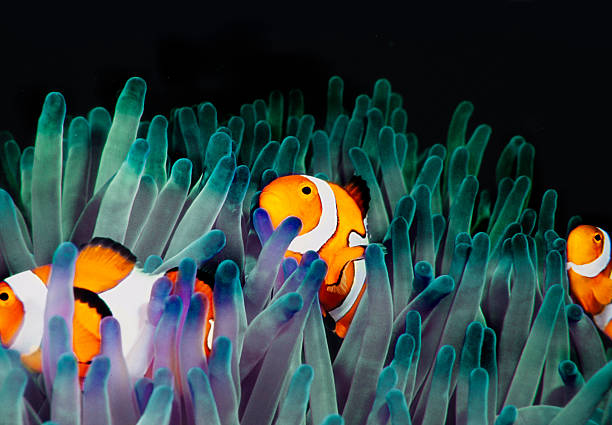 clownfish (Amphiprion Ocellaris)  anemonefish stock pictures, royalty-free photos & images