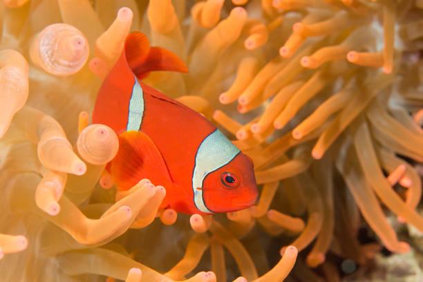 Clownfish – Foto