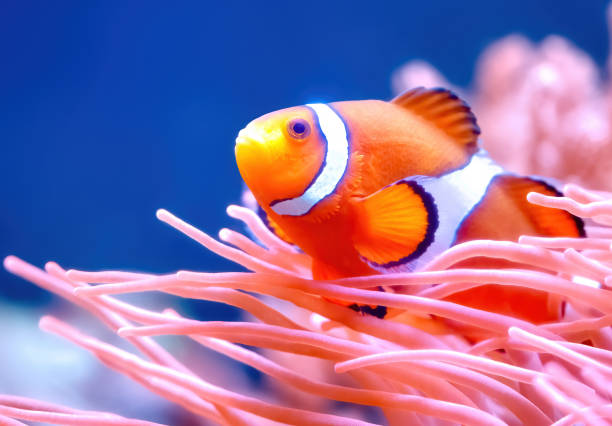 Clownfish Clownfish false clown fish stock pictures, royalty-free photos & images