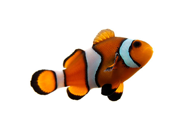 Clownfish A clownfish (Amphiprion Ocellaris) on a white background. anemonefish stock pictures, royalty-free photos & images