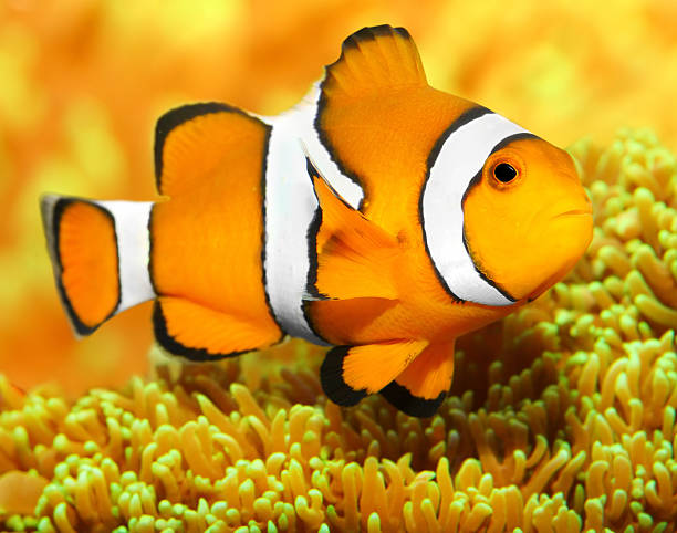 Clownfish (Amphiprion ocellaris) Underwater photo of The Clownfish (Amphiprion ocellaris). false clown fish stock pictures, royalty-free photos & images
