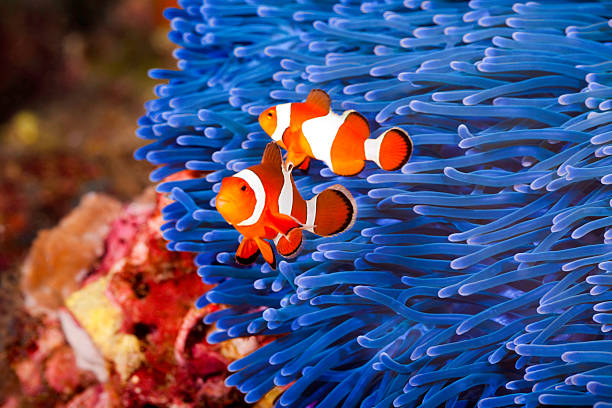 Clownfish Two Ocellaris clownfish (Amphiprion ocellaris) anda blue sea anemone anemonefish stock pictures, royalty-free photos & images