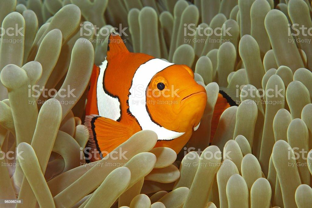Clownfish royalty-free stock photo