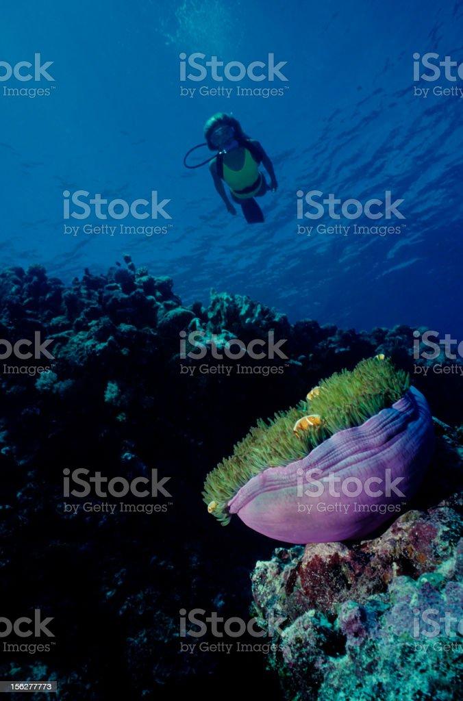 Clownfish Reef royalty-free stock photo