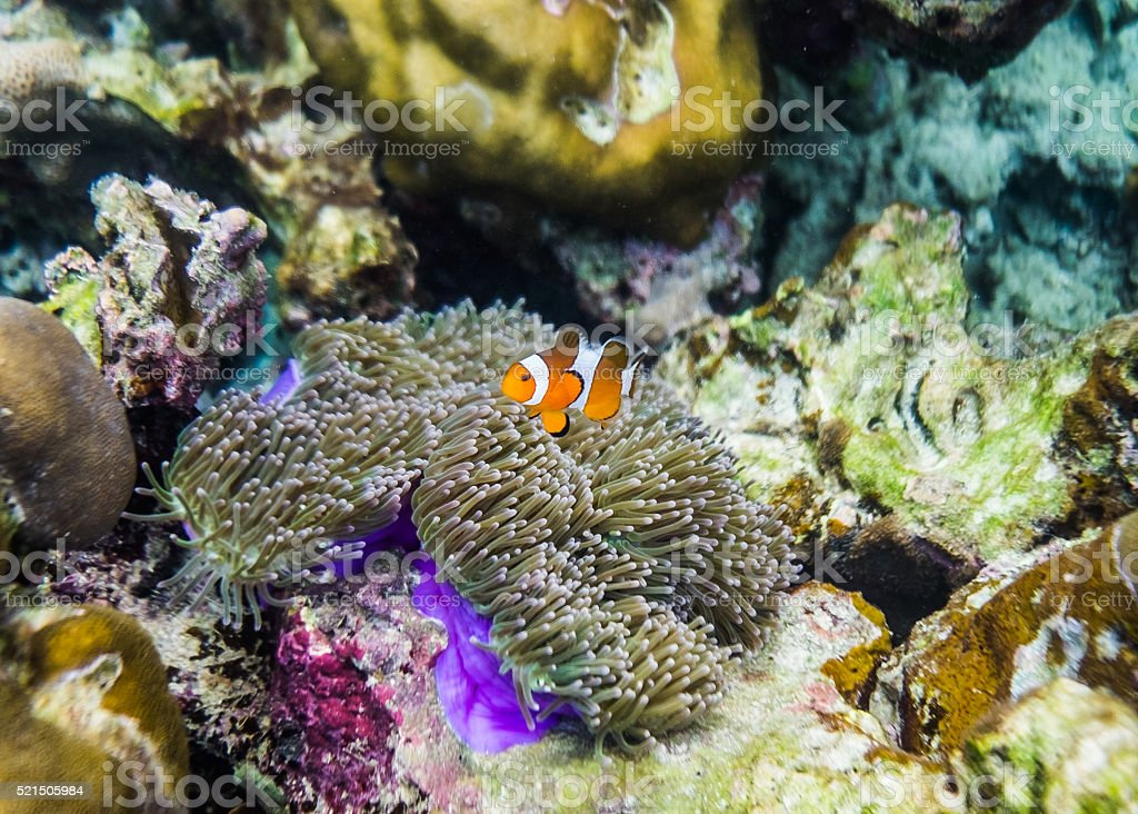 Clownfish swim around in coral reef colorful stock photo