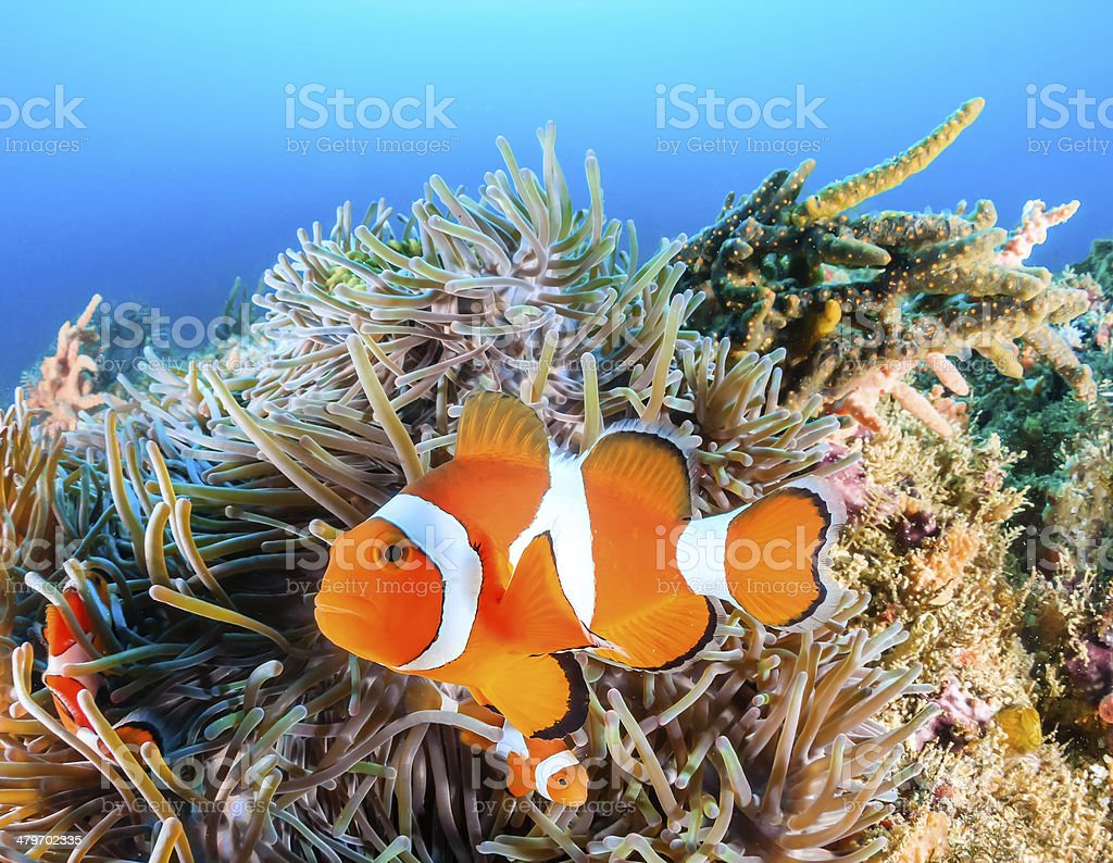 Clownfish swim around their host anemone with blue water behind royalty-free stock photo