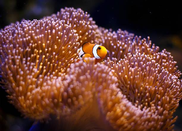 amfiprion z zawilec koral - parzydełkowce zdjęcia i obrazy z banku zdjęć