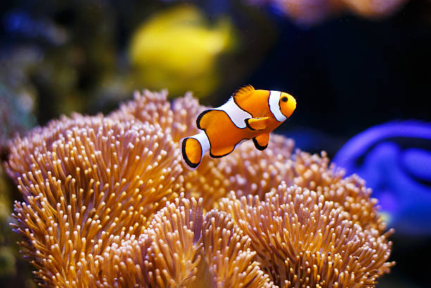 Clownfish with anemone coral Photo showing a clownfish pictured close-up, with sea anemone coral forming the background. aquarium stock pictures, royalty-free photos & images