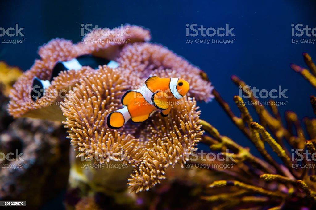 Pez payaso con anémona Coral - foto de stock