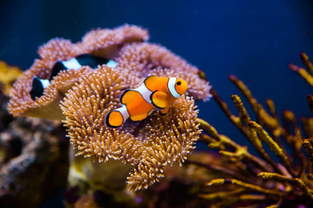 Clownfish with anemone coral Clownfish with anemone coral sea anemone stock pictures, royalty-free photos & images