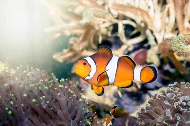 Clownfish with anemone coral Clownfish with anemone coral nemo museum stock pictures, royalty-free photos & images