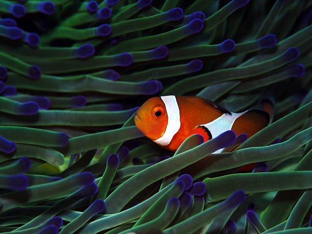 Clownfish with colorful anemone stock photo