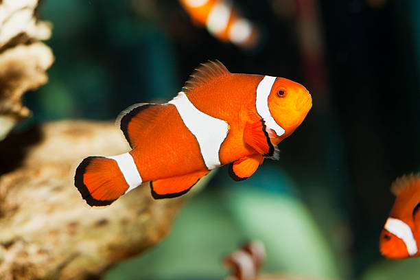 Clownfish XXL That lovable fish from the ever-popular kids' movie. Camera: Canon EOS 1Ds Mark III. false clown fish stock pictures, royalty-free photos & images