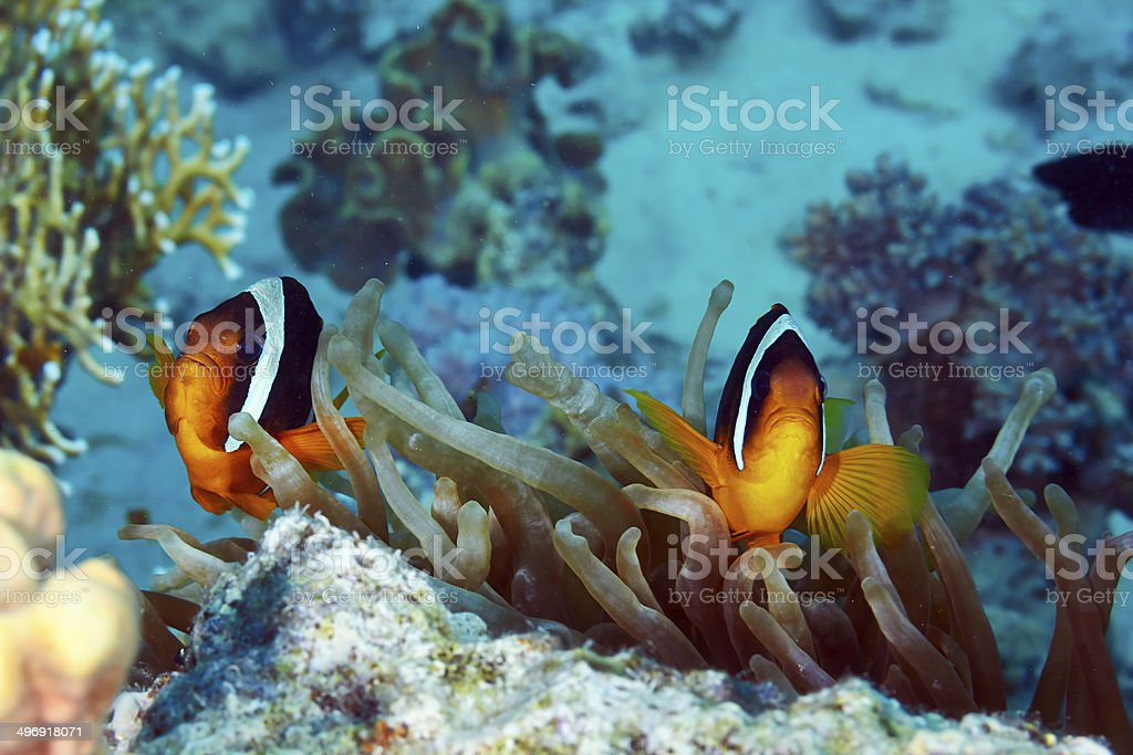 Clownfishes stock photo