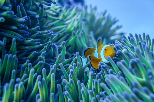 A clown fish playing in the anemone at a reef in the Great Barrier Reef