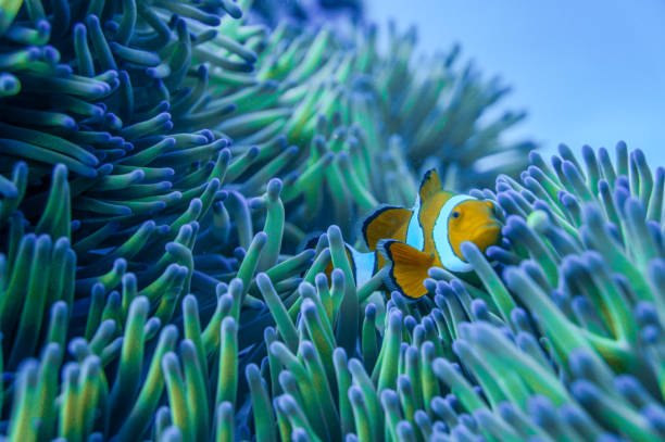 Clowning Around A clown fish playing in the anemone at a reef in the Great Barrier Reef anemonefish stock pictures, royalty-free photos & images