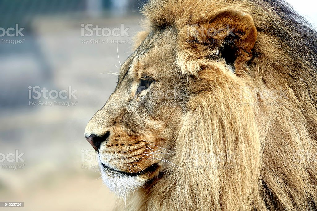 Clse up of a big male lion royalty-free stock photo