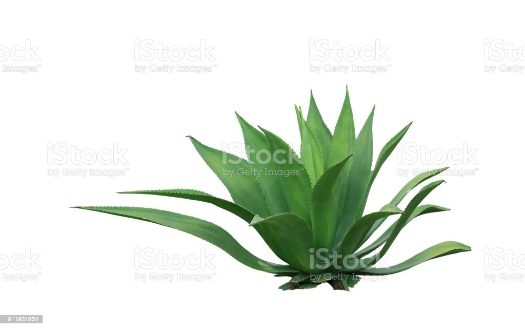 clump cactus leaf ornamental plant isolated on white background stock photo