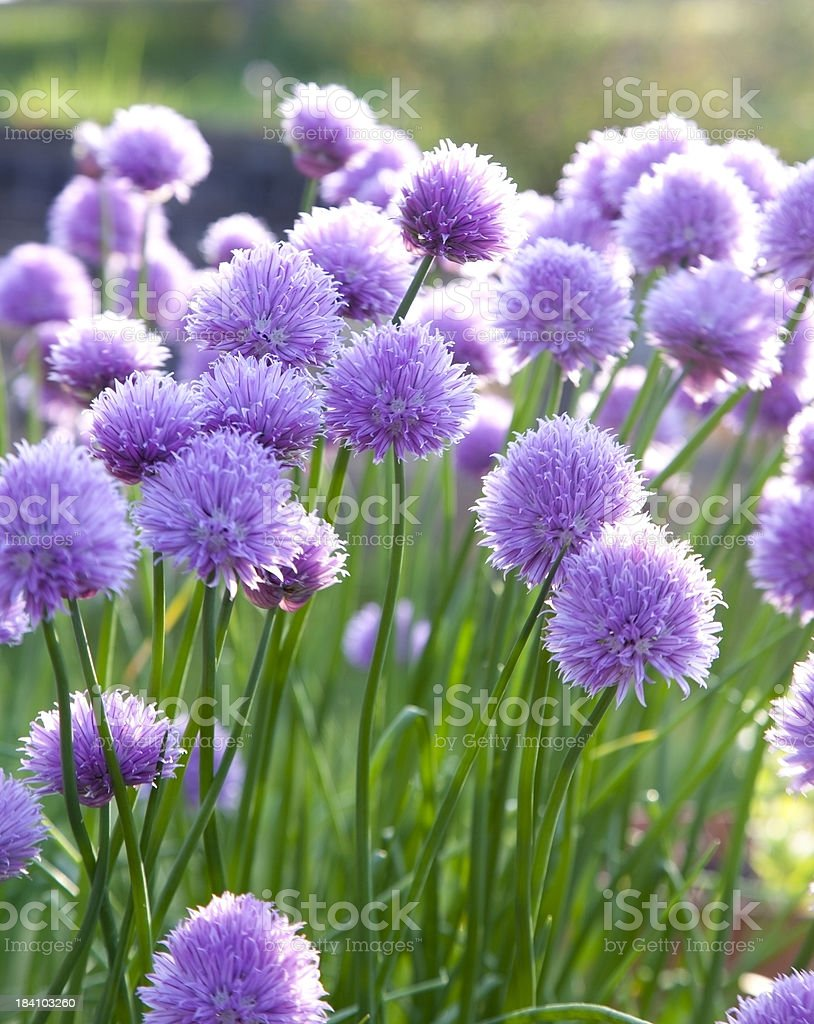clump of chives stock photo